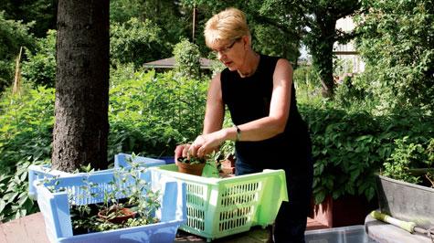 Marjatta pakkaa taimia illan taimenvaihtotapahtumaa varten.