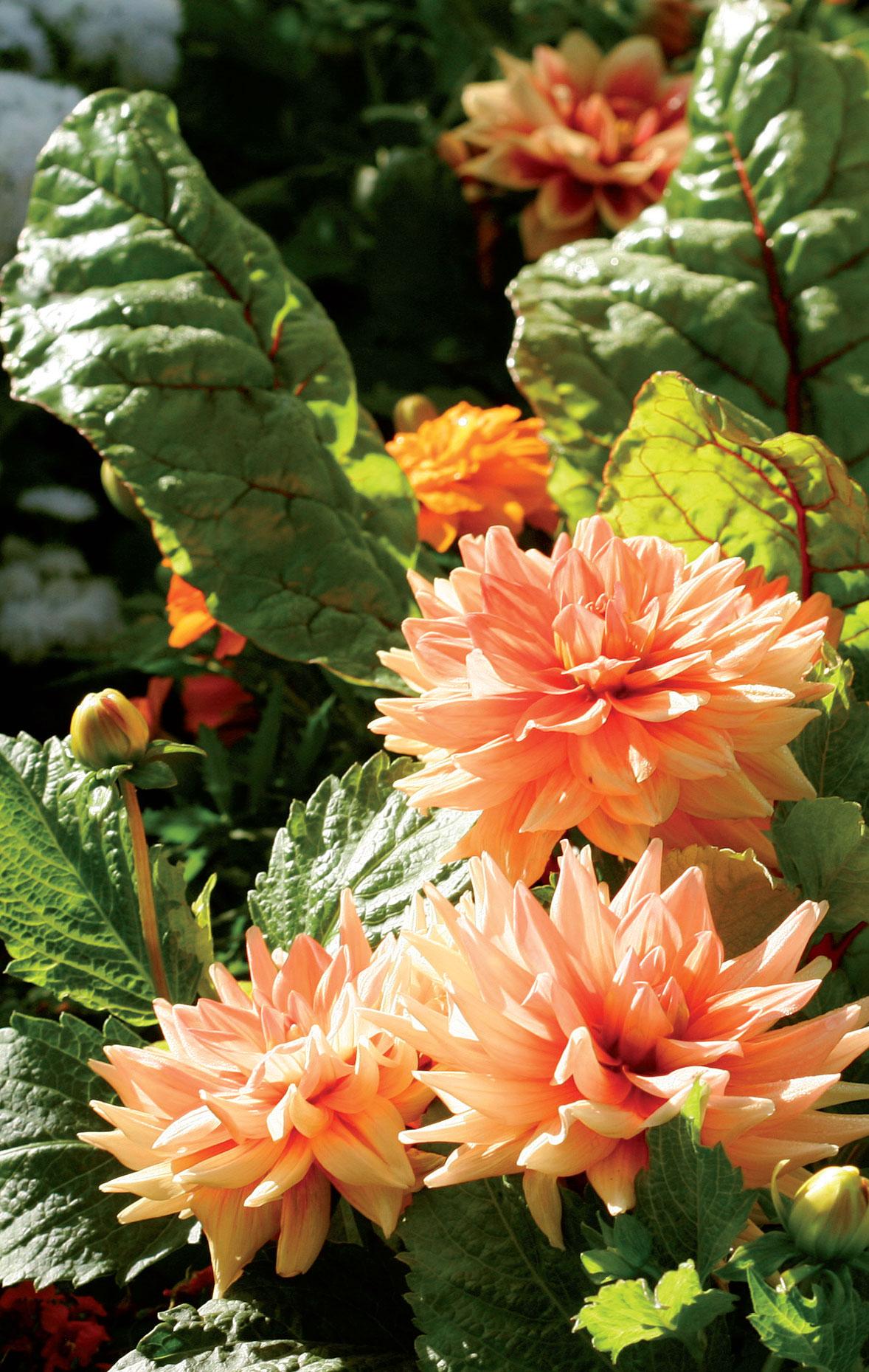 Maya-daalia ja punamangoldi