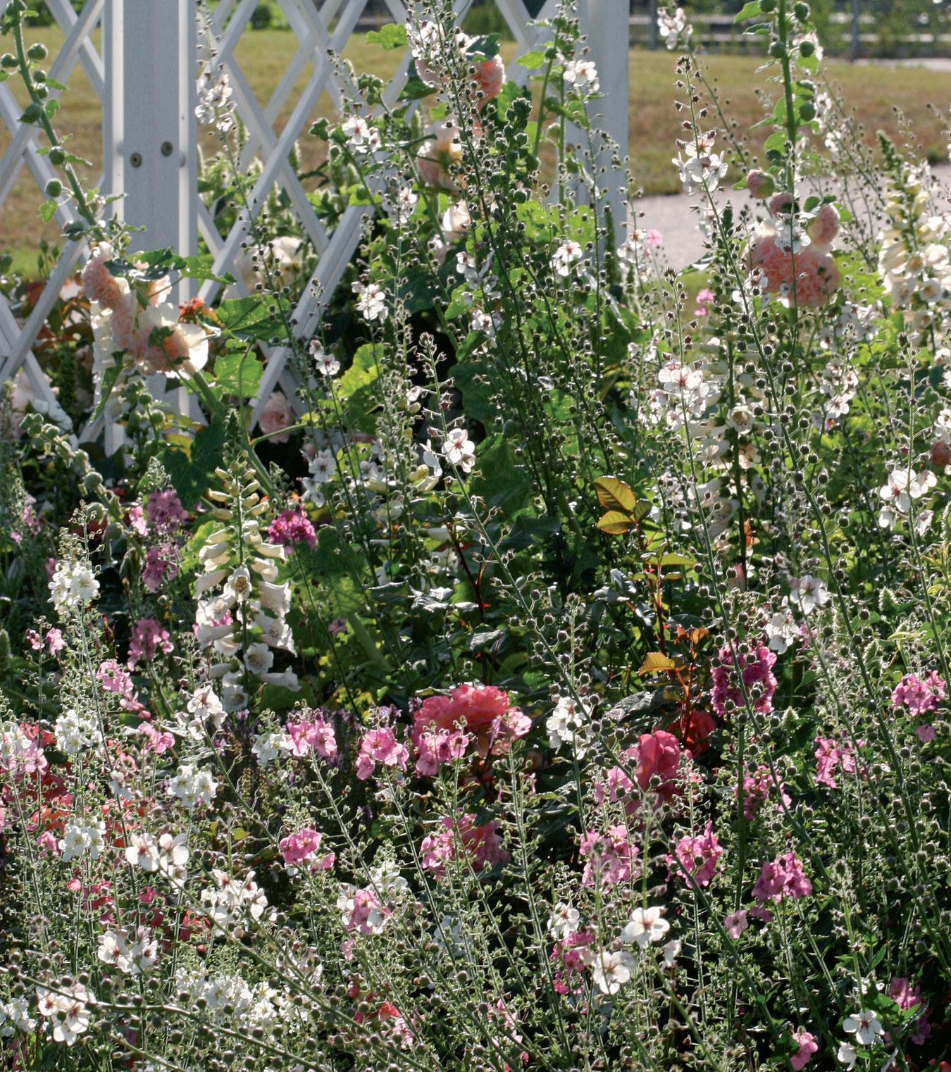Salkoruusut, sormustinkukat sekä valkoiset ja roosat purppuratulikukat keinuvat ryhmäruusujen seassa.