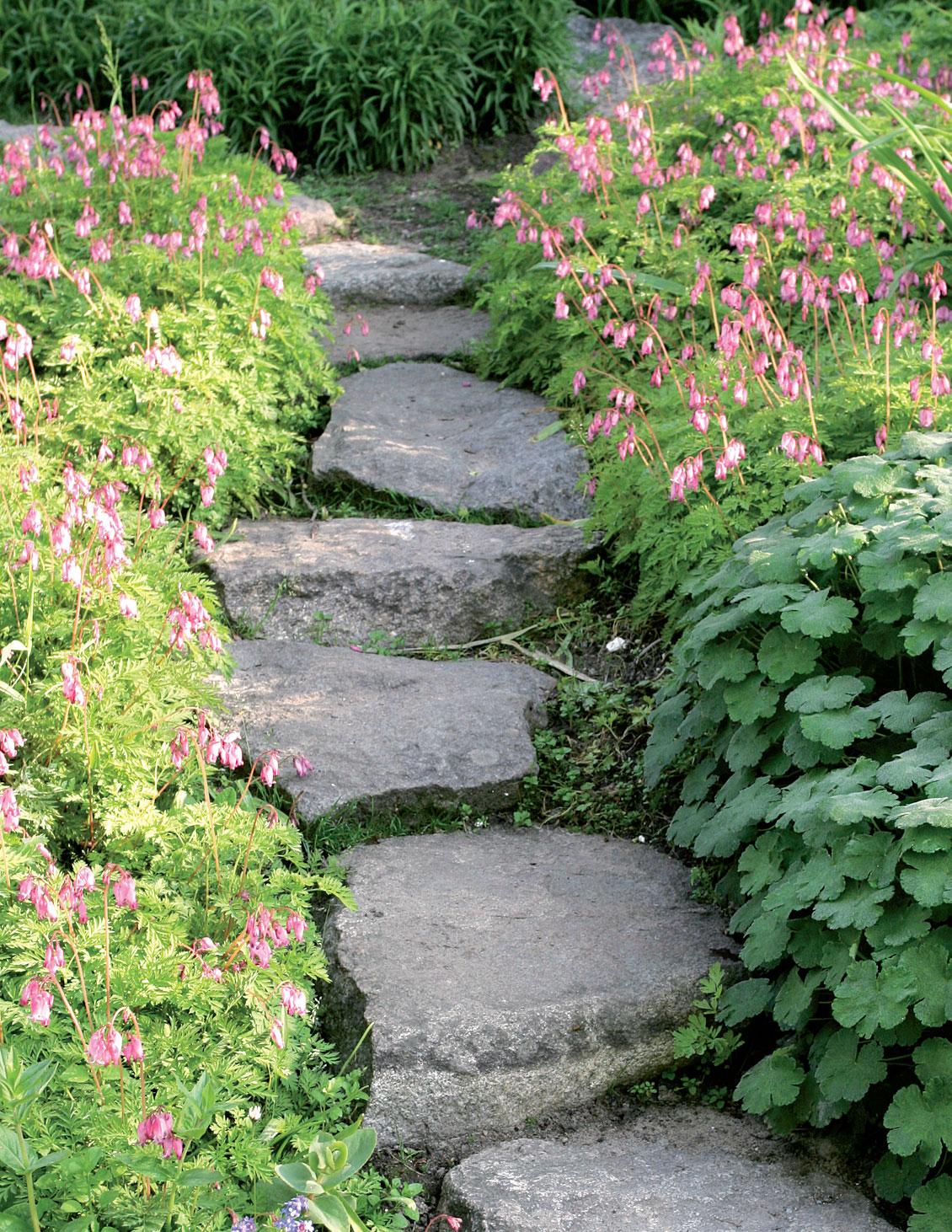 Keskenään lähes samankokoisista luonnonkivistä rakennettu polku kulkee kesäpikkusydämien (Dicentra formosa) keskellä loivassa rinteessä.
