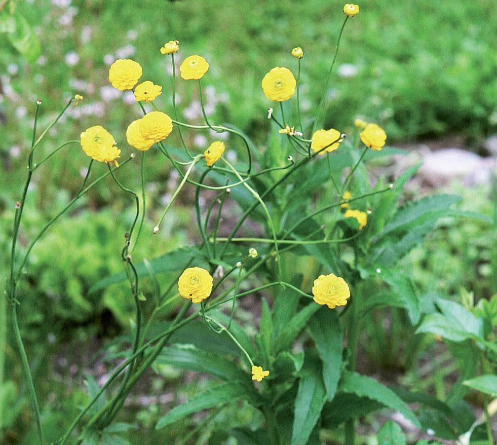 Nappileinikki (Ranunculus acris 'Flore Pleno') kukkii pitkään.
