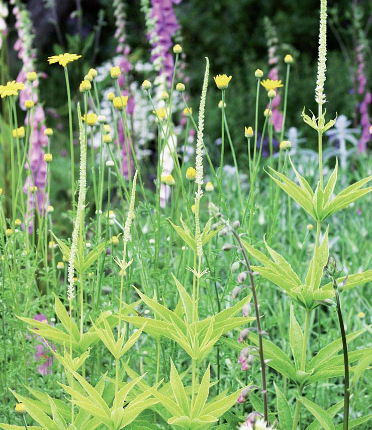 Kukassa sormustinkukka, keltainen sauramo ja virginiantädyke (Veronica virginica) 'Alba'.