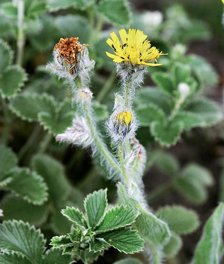 Villakeltano (Hieracium villosum) on pörröinen alppikasvi.