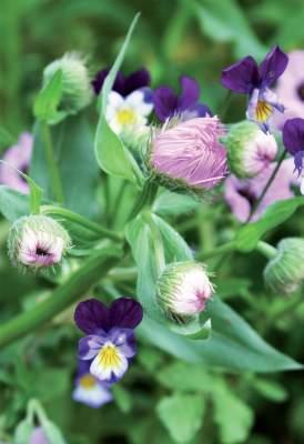 'Ballerina'-harmaakurjenpolven (Geranium cinereum) seurana kasvaa orvokki ja jalokallioinen (Erigeron speciosus).