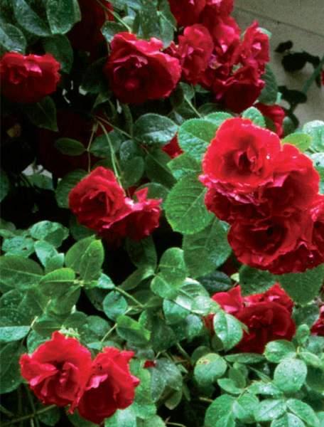 Uhkea köynnösruusu 'Flammentanz' kukkii noin kolme viikkoa lämpimällä seinustalla.