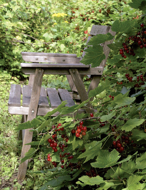 Puutarhan vanhimmat herukka- ja karviaispensaat ovat 1930–40-luvuilta.