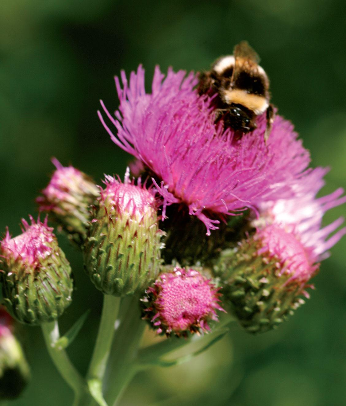 Huopaohdake (Cirsium helenioides) on pölyttäjille mieleen.