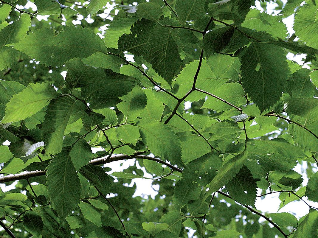 Kynäjalava on tulvarantojen puu. Sen lehdet ovat päältä sileät, toisin kuin yleisemmällä vuorijalavalla.