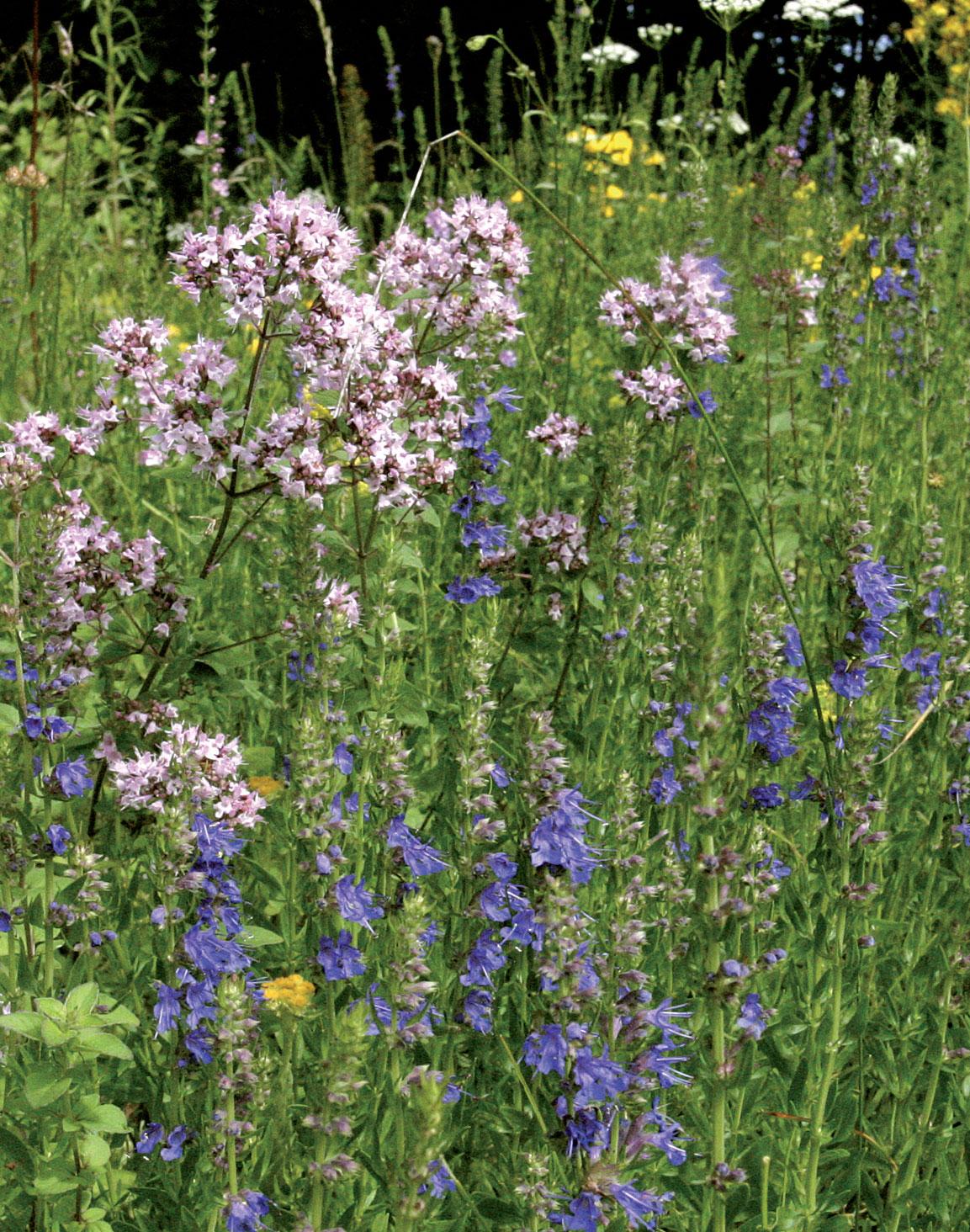 Kirkkaansininen neidonkieli viihtyy kedolla kalkkipitoisen maan ansiosta. Sen vieressä kasvaa mäkimeirami.