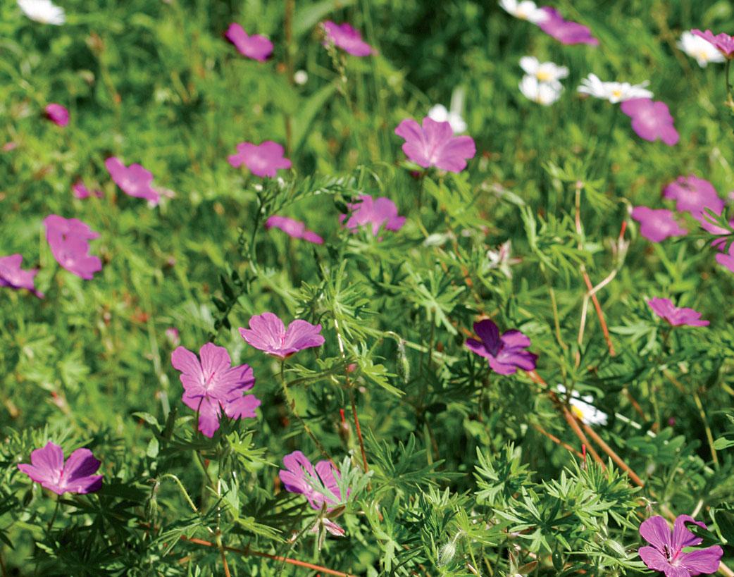 Verikurjenpolvi on puutarhan vaateliaimpia lajeja.