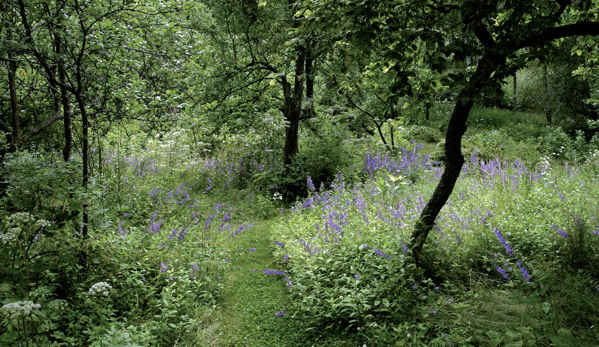 Vuohenkello leviää herkästi pienestäkin juurenpalasesta. Se kasvoi puutarhassa jo ennen kuin Riitta ja Tom ostivat paikan.