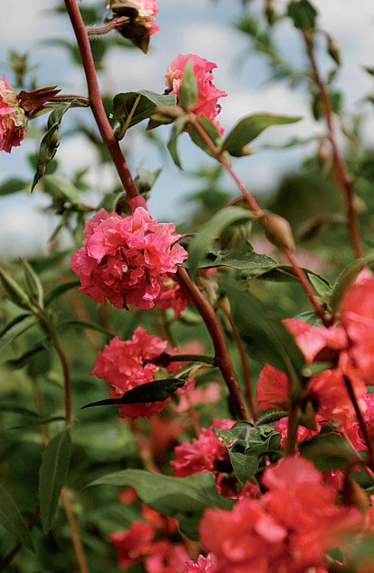 Klarkiat kukkivat heinäkuussa.