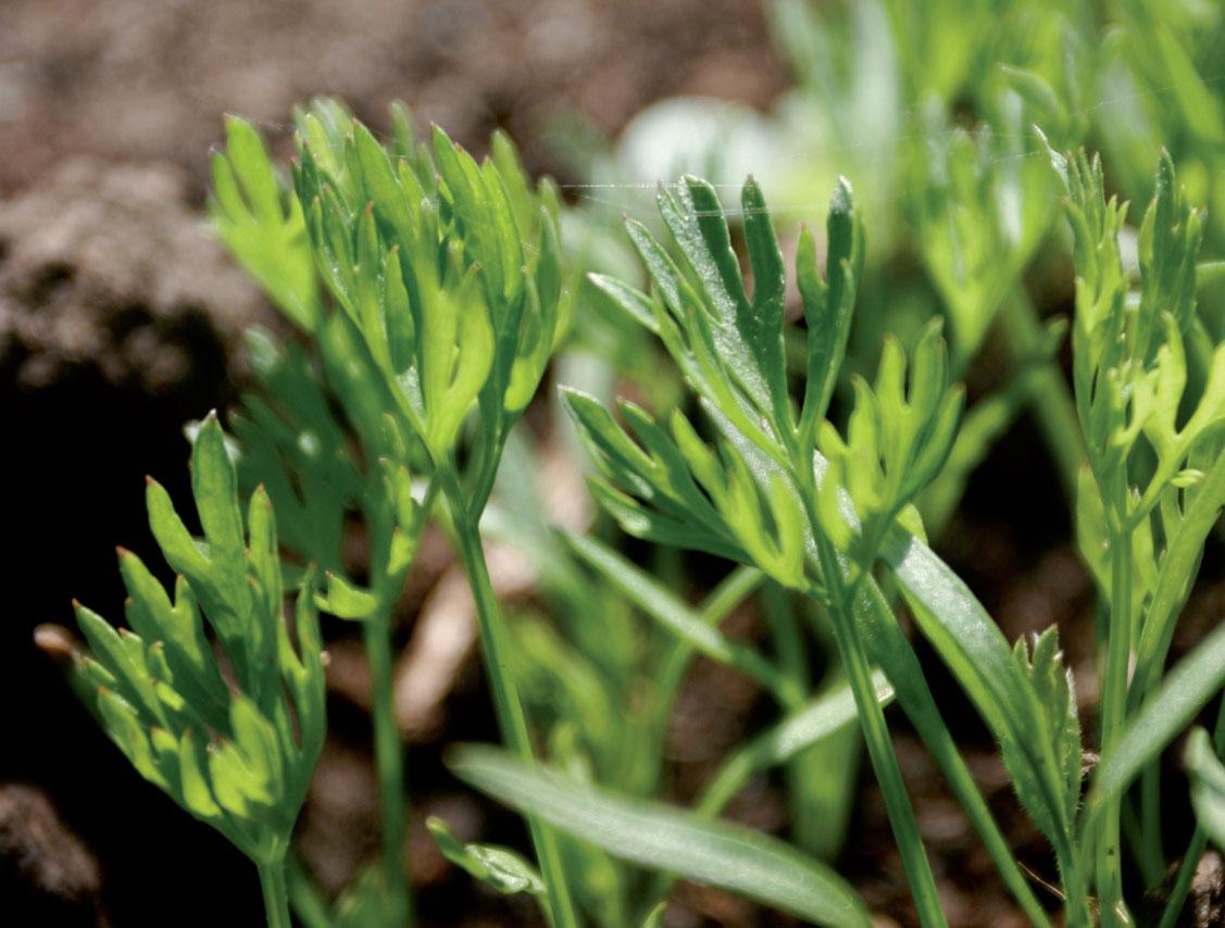 Porkkana viihtyy kasvuturpeella parannetulla kasvimaalla.