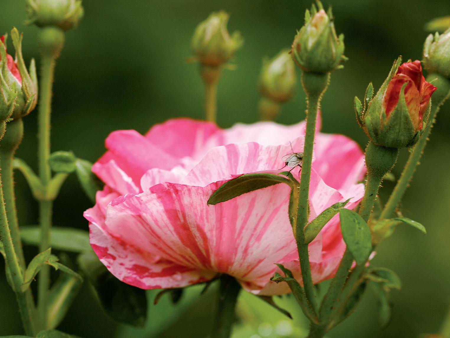 'Rosa Mundi' -ruusun kukinta on alkamamassa heinäkuun alkupuolella.