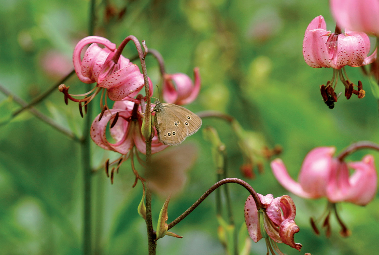Varjoliljaan lennähtänyt tesmaperhonen on löytänyt Pirkon perennakeitaasta hyvän apajan.