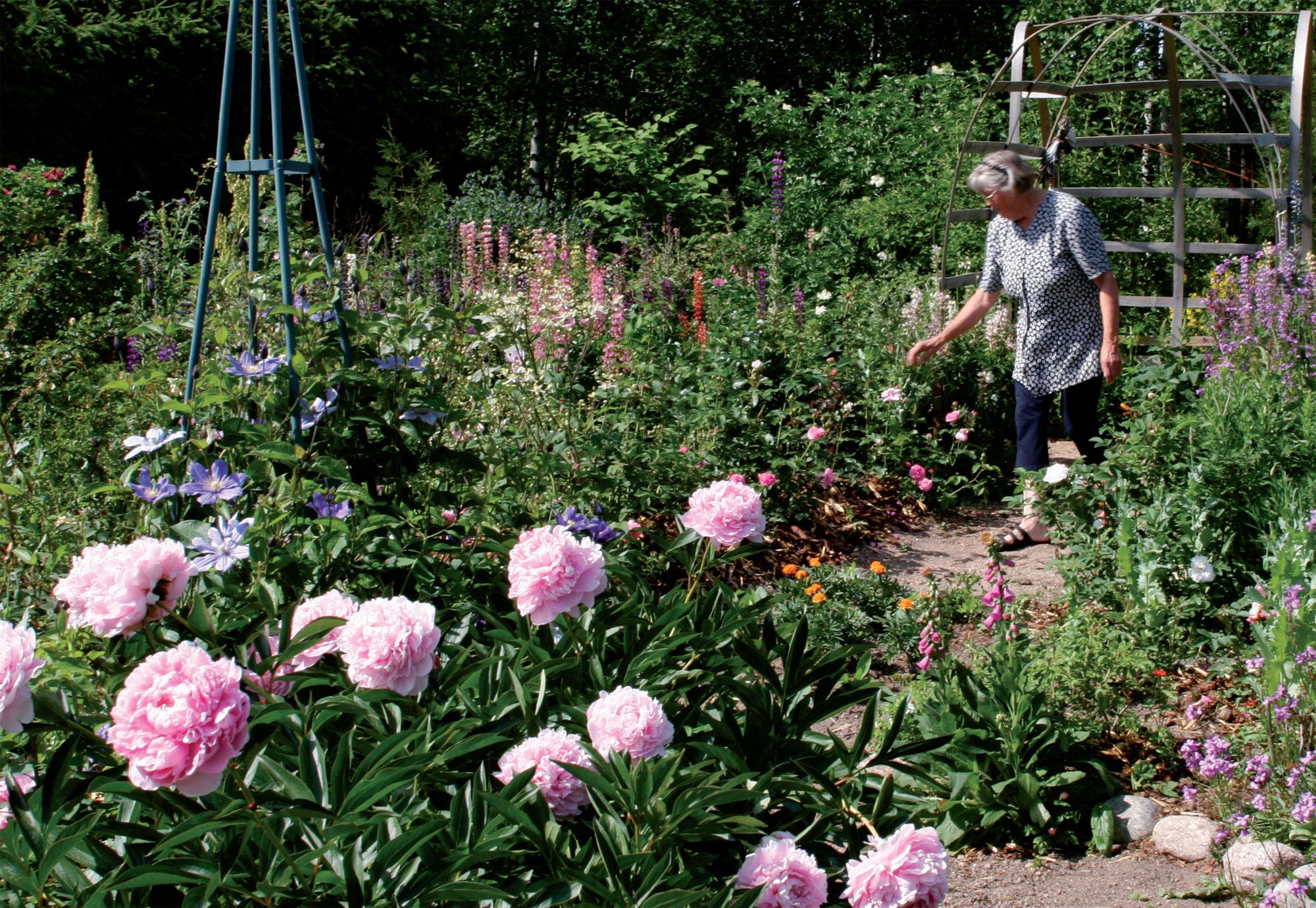 Ailin ruusutarhaa suojaa pohjoistuulilta tuuhea kuusiaita