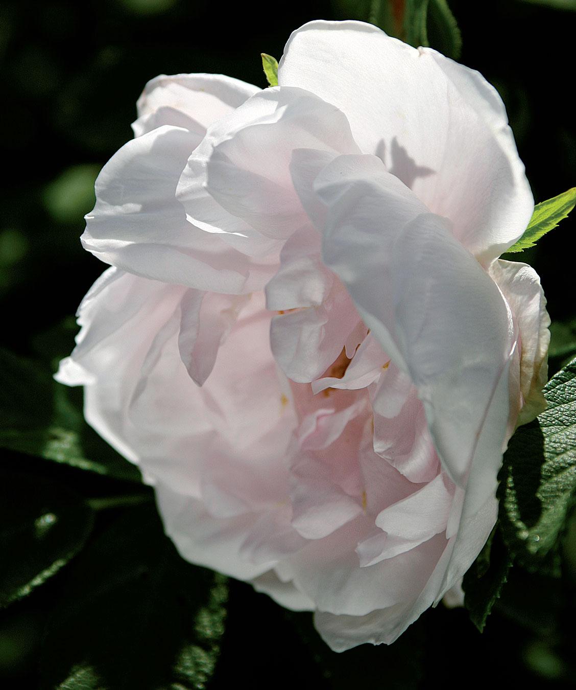 Tarhakurtturuusun 'Snow Pavement' hennon vaaleanpunaiset kukat tuoksuvat hunajalta.