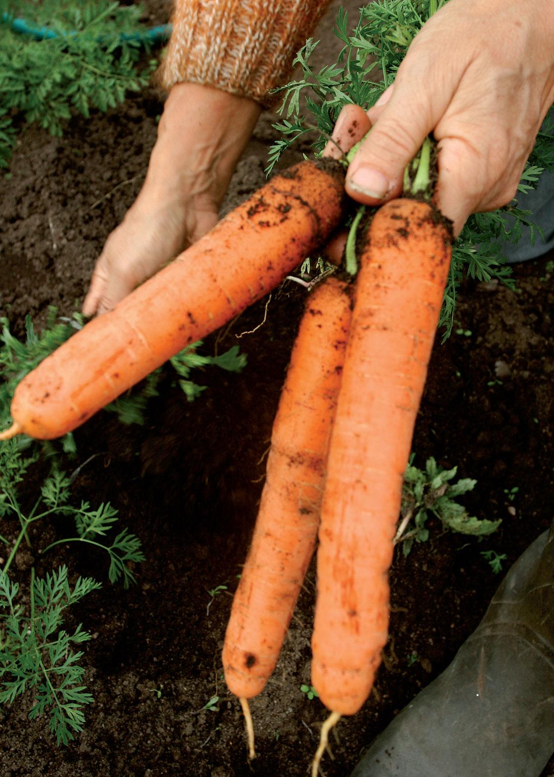 Pyöristynyt pää kertoo porkkanasadon olevan valmis korjattavaksi. Kun lehdet katkaisee taittamalla, juures ei verso nopeasti varastossa.