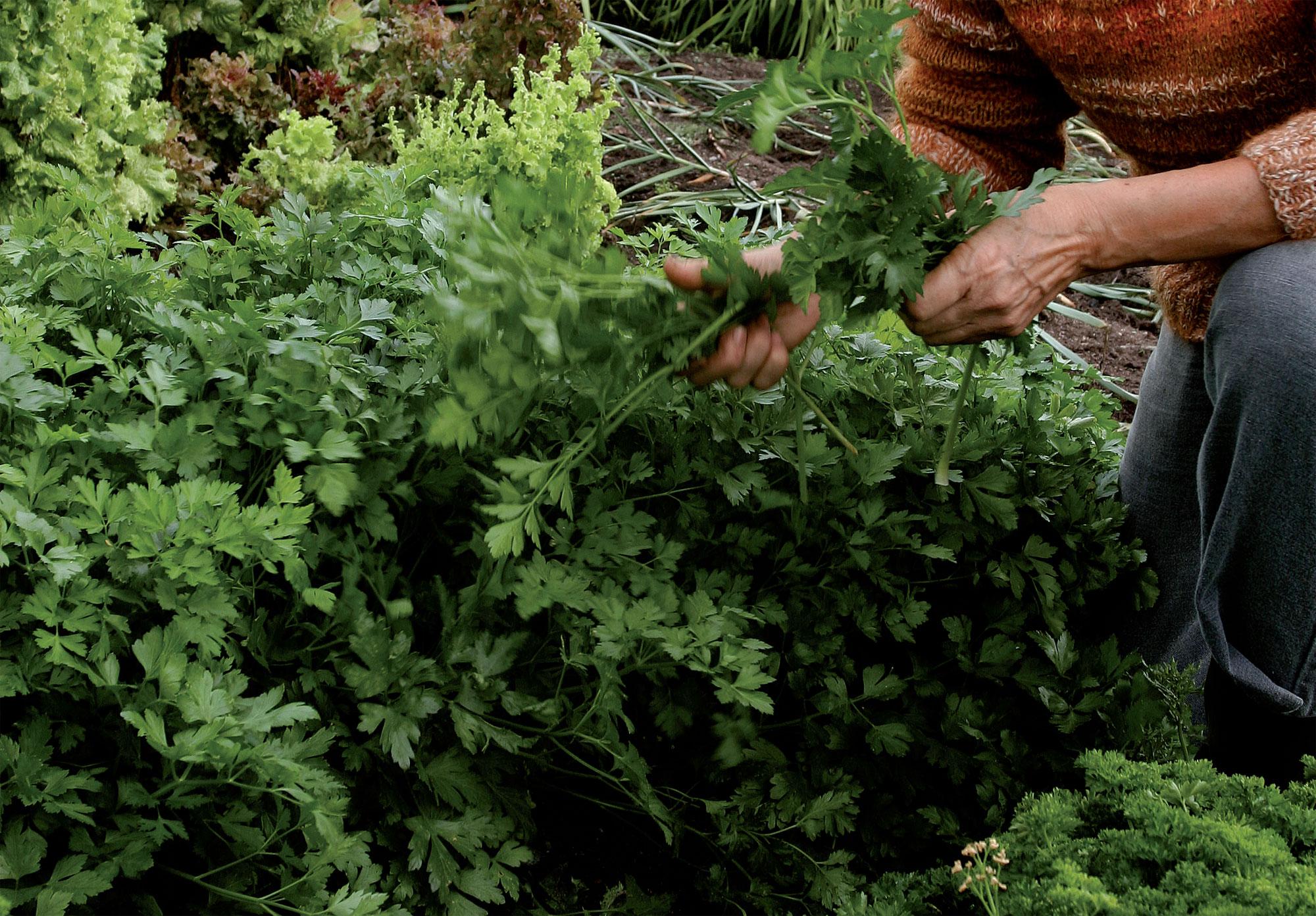 Silopersilja on kähäräpersiljaa satoisampi ja voimakaskasvuisempi.