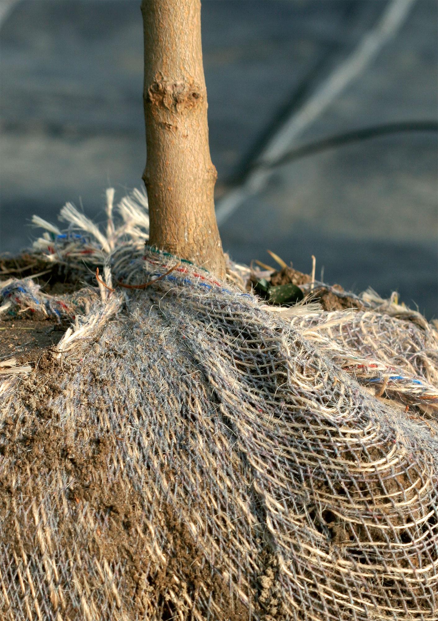 Pellossa kasvatetut puut myydään paakkutaimina viimeistään 15 vuoden iässä.