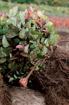 Paljasjuuritaimet nostetaan pellosta, kun ne ovat tuleentuneet