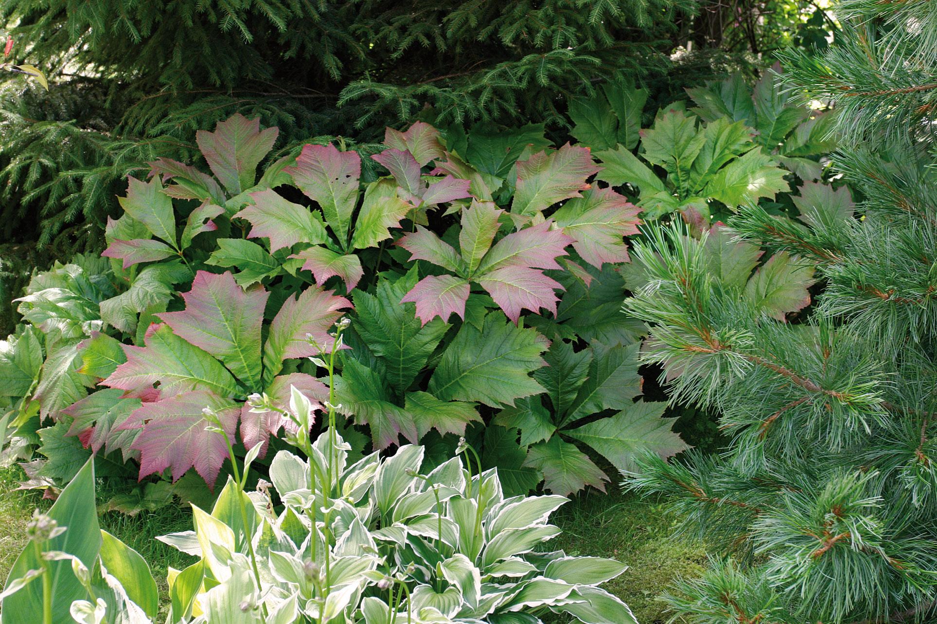 Pronssilehtiseksi värittyvä liuskavaleangervo ja raidallinen kuunlilja tuovat ainavihantien havukasvien juurelle rehevyyttä ja vaihtelua.