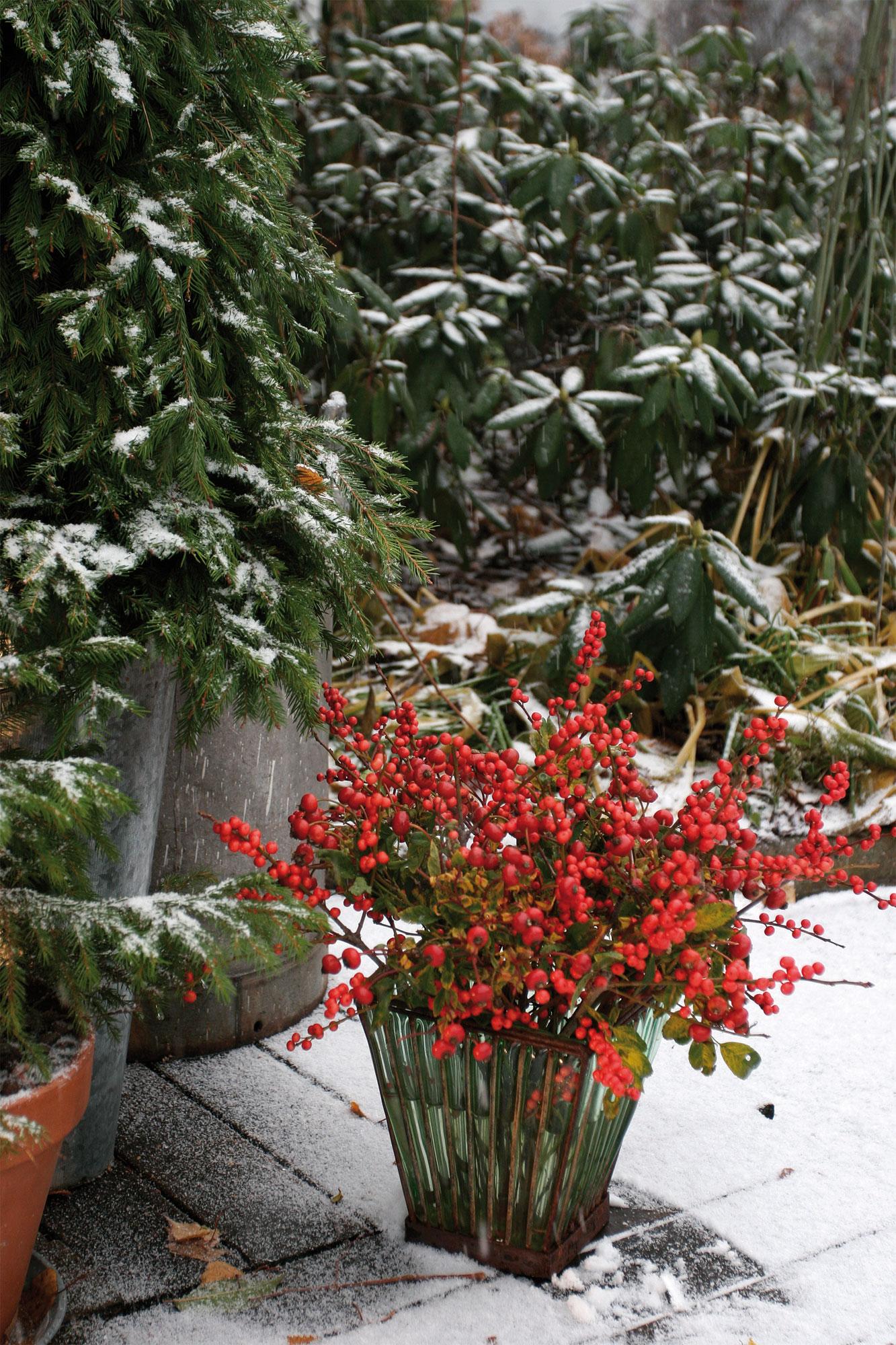 Ainavihanta Orjanlaakeri (Ilex aquifolium) on suosittu joulukoriste muun muassa Britanniassa.