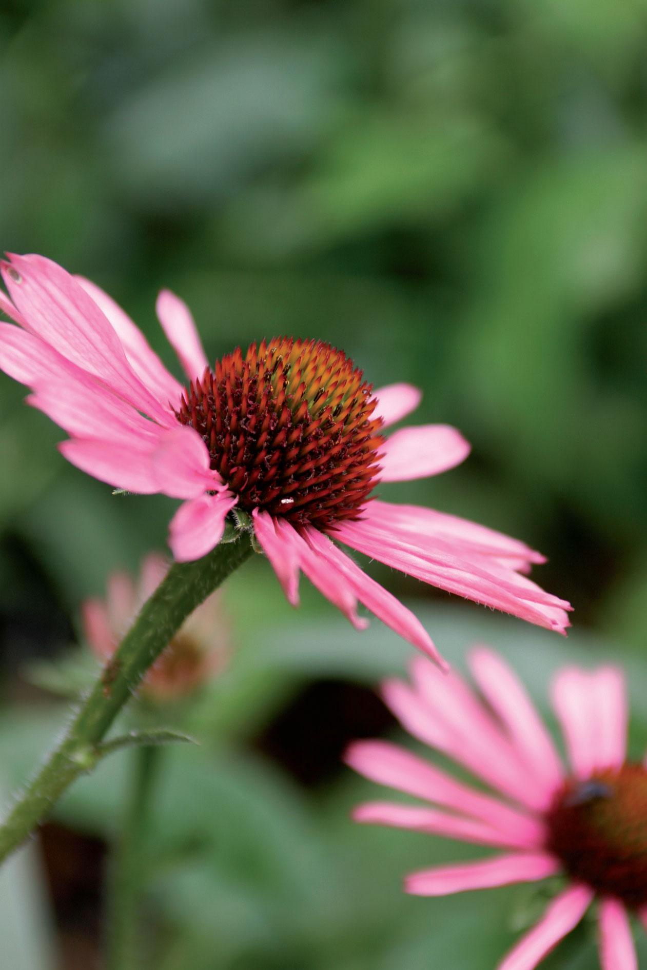 'Pixie Meadowbrite' -lajikkeella on oranssinpuhuva mykerö ja vaaleanpunaiset terälehdet. Lisäksi se on erityisen tanakkakasvuinen ja siksi helppohoitoinen puutarhassa.