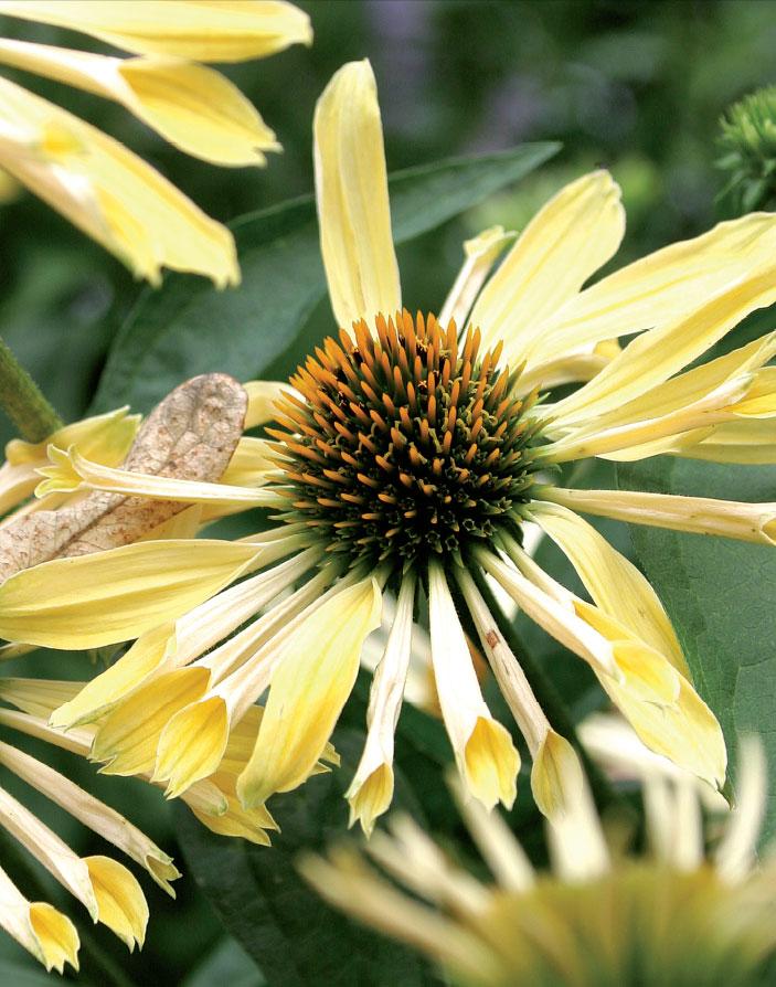 'Sunrise'. Yli metrin mittaiseksi ylettyvä suurikukkainen lajike on hyvä taustakasvi paahteen kukkapenkkiin.
