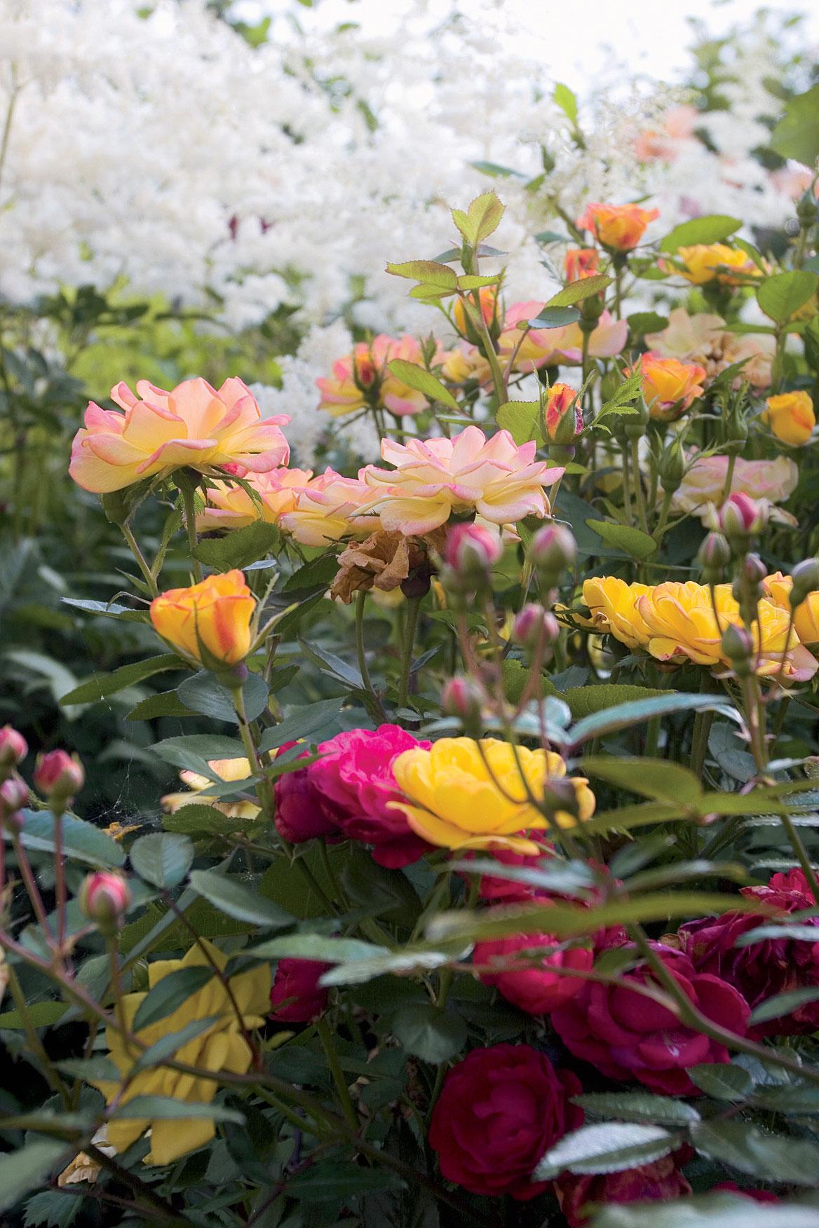 Altaassa kasvavat ruusut kaipaavat runsaasti kastelua ja lannoitusta.