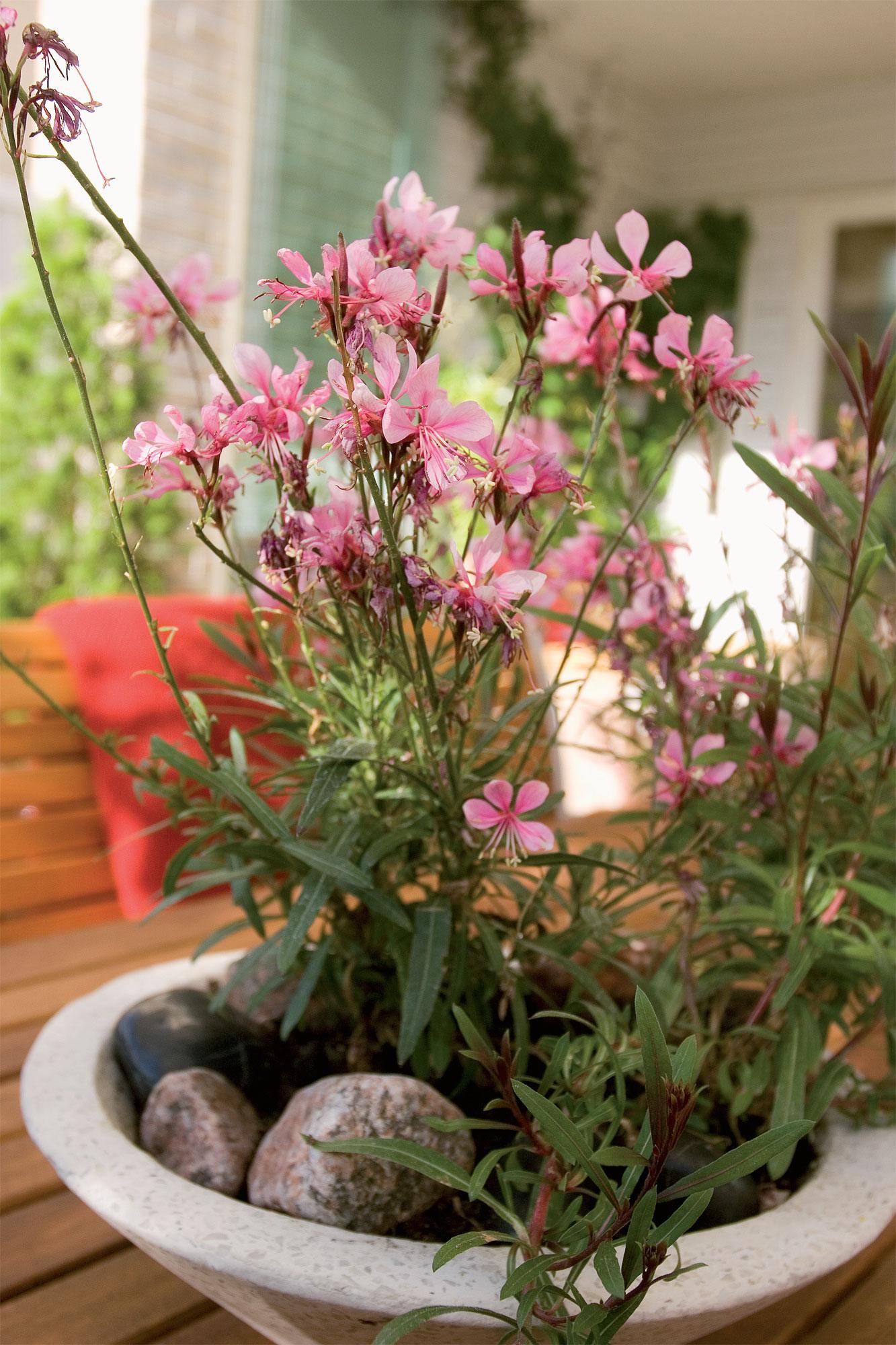 Kylmänkestävä sirokesäkynttilä (Gaura lindheimeri) kukkii myöhäiseen syksyyn Timrénien pihapöydällä.
