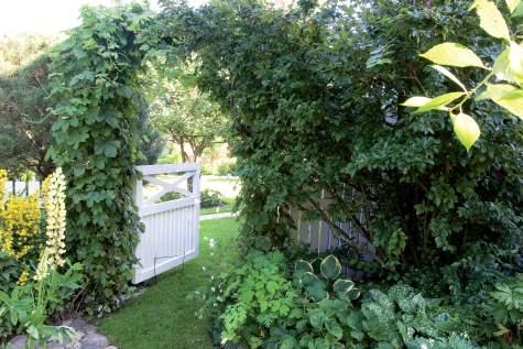 Rehevä köynnösportti syntyy humalan ja kiiltotuhkapensaan yhdistelmällä. Ohjaa ja kiinnitä pensaan oksat taimesta lähtien portin ylle.