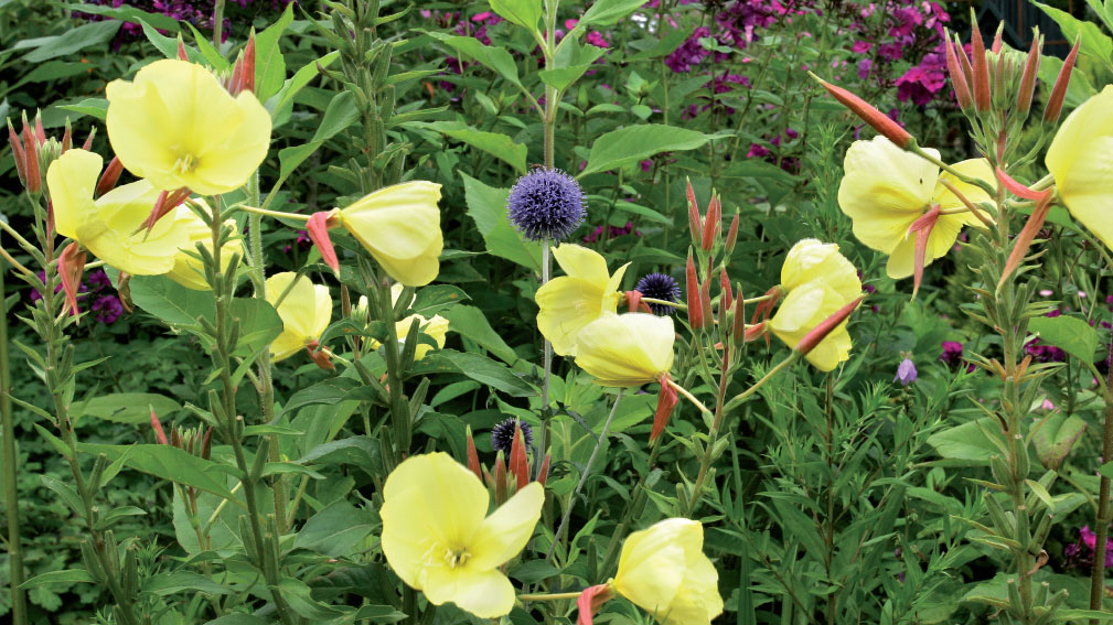 Kasviryhmä, jossa vastavärit kukkivat samanaikaisesti, on taiteilijan unelma. Anne on istuttanut yhdessä viihtyvät iltahelokin (Oenothera biennis), syysleimun (Phlox paniculata 'Le Mahdi') ja sinipallo-ohdakkeen (Echinops bannaticus) aurinkoiselle paikalle.
