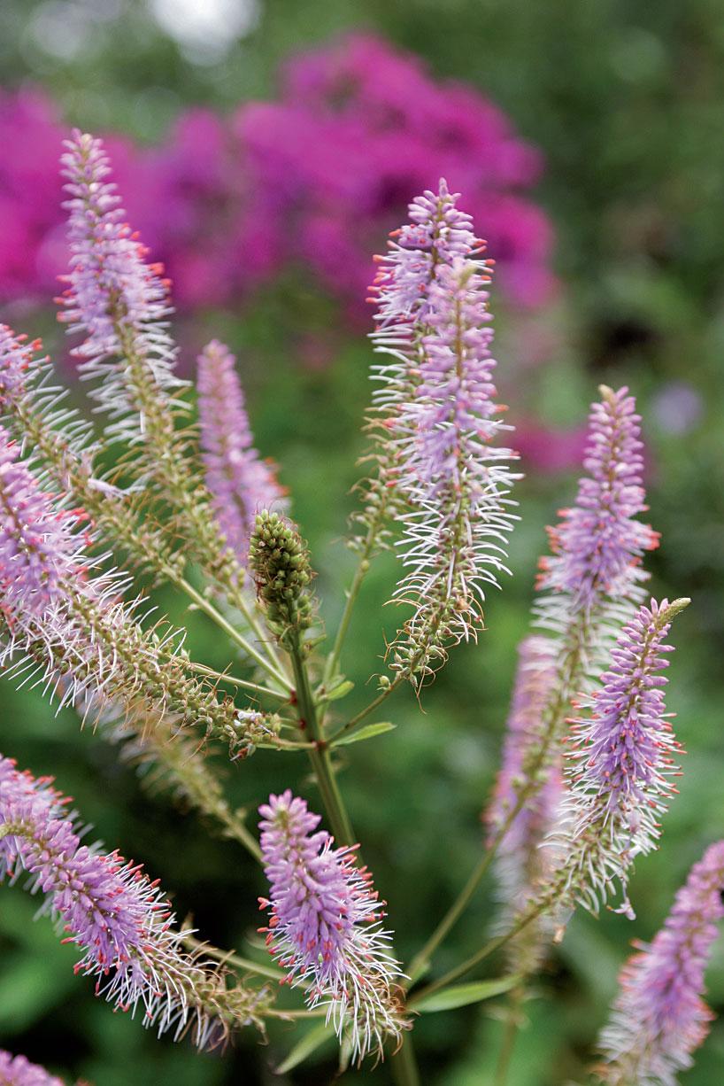 Virginiantädykeen (Veronica virginica) hennon liilat, korkeat kukkalatvukset siintyvät taustan syysleimuja vasten.