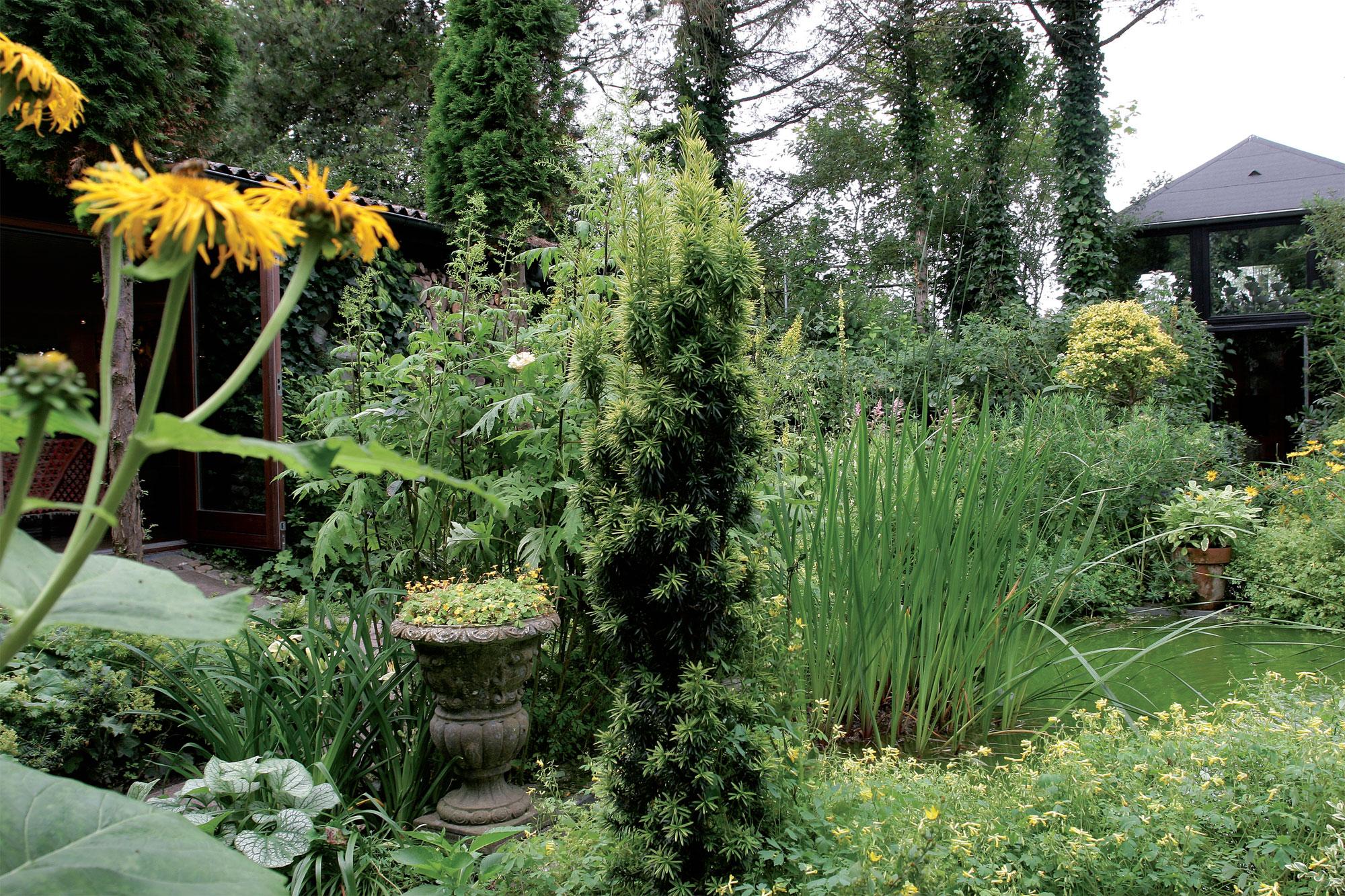 Keltainen puutarha muodostaa intiimin kokonaisuuden. Kellansävyinen marjakuusilajike (Taxus), keltakurjenmiekat (Iris pseudacorus) ja etualan keltakiurunkannukset (Pseudofumaria lutea) viihtyvät altaan äärellä.