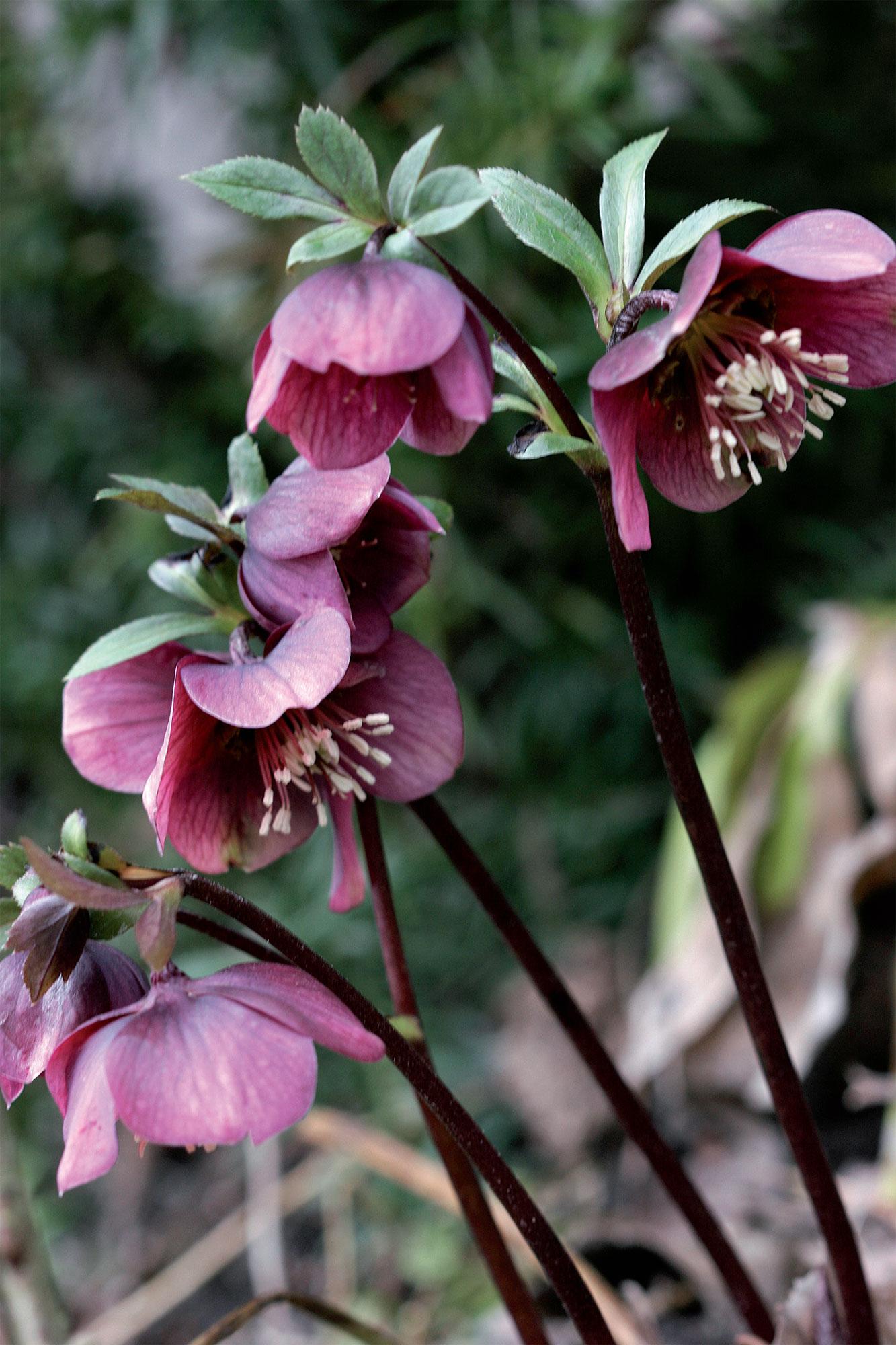 Tämän viininpunaisen tarhajouluruusun lehdet kasvavat kukkien puhkeamisen jälkeen.
