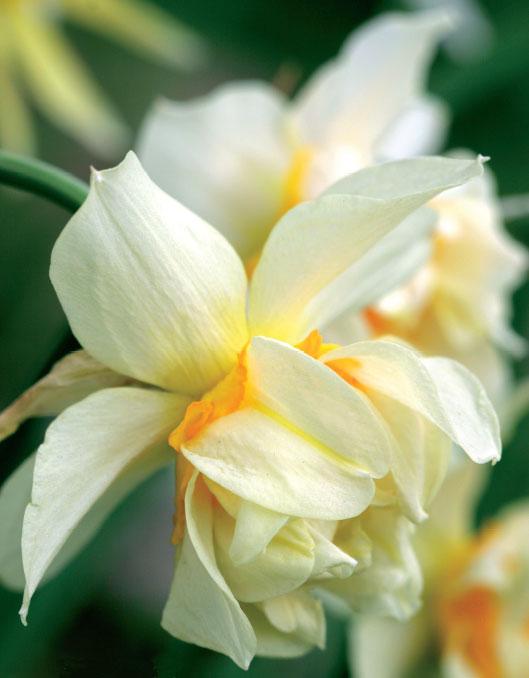 Kerrannaiskukkaisella Eggs and Bacon -lajikkeella vuodelta 1731 on kermansävyiset terälehdet. Cottage-puutarhojen suosikki tunnetaan myös nimellä 'Orange Phoenix'.