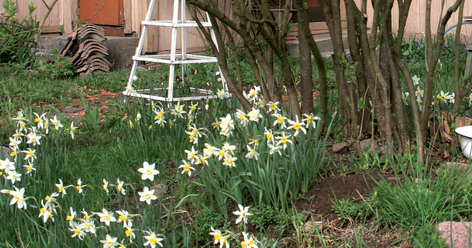 Perennapenkkiin istutettujen narsissien lehdet saavat kukinnan jälkeen kuihtua rauhassa. Myöhemmin kesällä kukkivat kasvit jättävät ne peittoonsa.