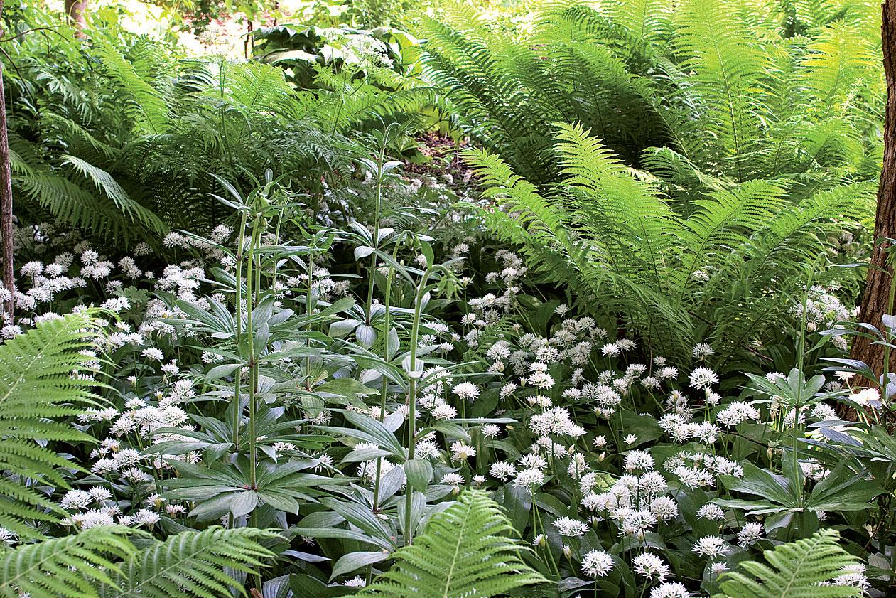 Kerroksellisessa varjopuutarhassa kasvavat kotkansiipi, varjolilja sekä karhunlaukka.