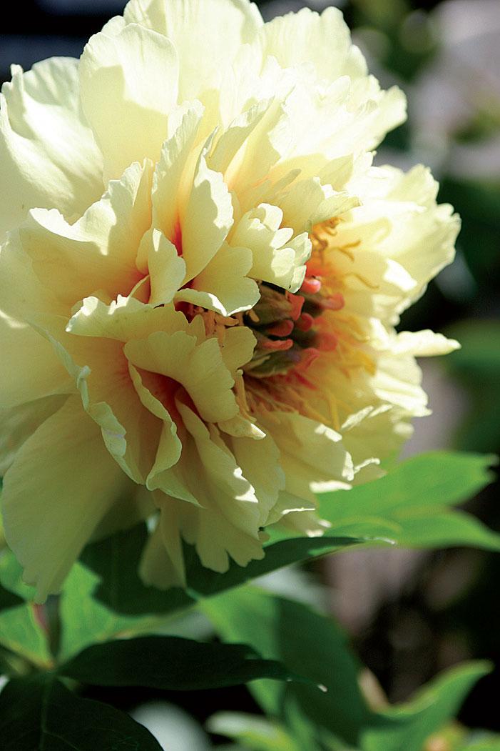 Itoh-pioniristeymä 'Garden Treasure' kasvaa noin 70-senttiseksi.