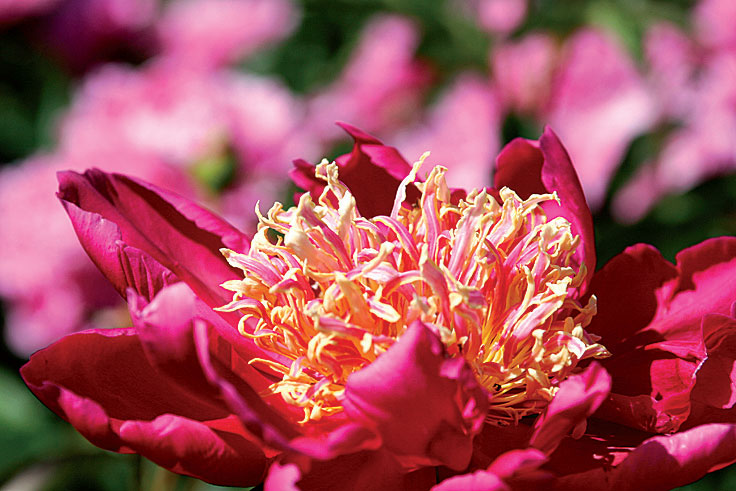 'Johnny'-pionissa on keskikokoinen, huomiota herättävä kukka.