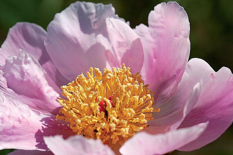 Harvinaisen Nymphe-pionilajikkeen iso kukka avautuu lautasmaiseksi.