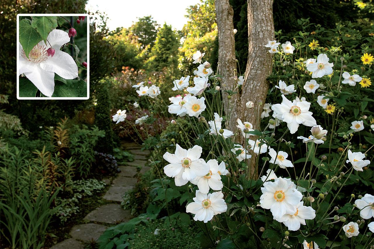 Kuutamopuutarhassa valkoisten kukkien hehku alkaa auringon laskusta ja jatkuu pitkälle kesäyöhön. Valitse sinne muodoltaan vaihtelevia ja mahdollisimman suurikukkaisia lajeja.