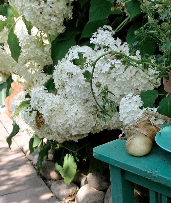 Pallohortensia (Hortensia arborescens)