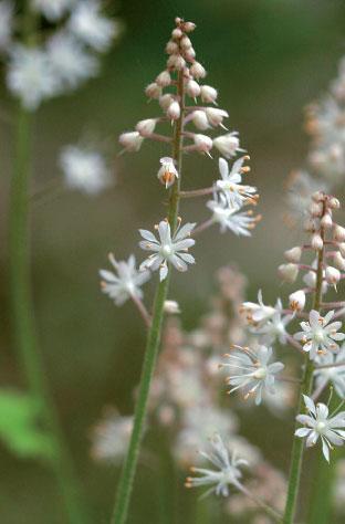 Rönsytiarella (Tiarella cordifolia) on mainio varjo- ja peittoperenna