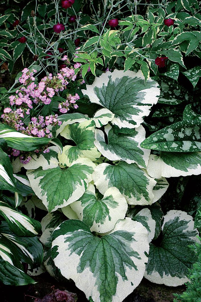 Istuta valkolaikullisia lehtiperennoja puutarhan varjopaikkoihin, sillä ne heijastavat tehokkaasti valoa siimekseen.