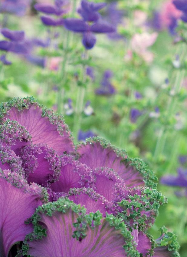 Yksivuotiset lajit, kuten koristekaali ja kirjosalvia, tuovat väriä yrttitarhaan.