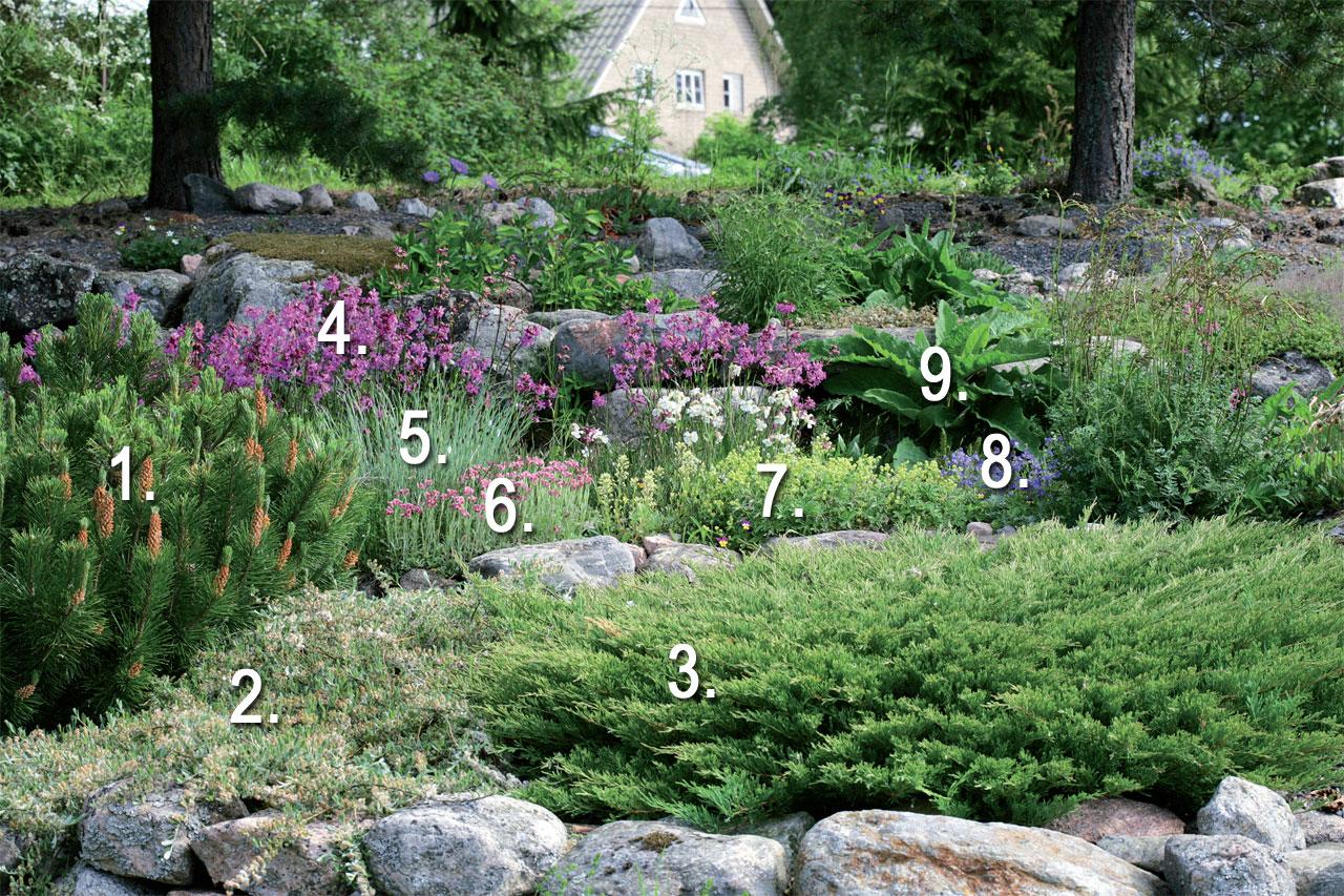 Sirpan kalliopuutarhan kasveja