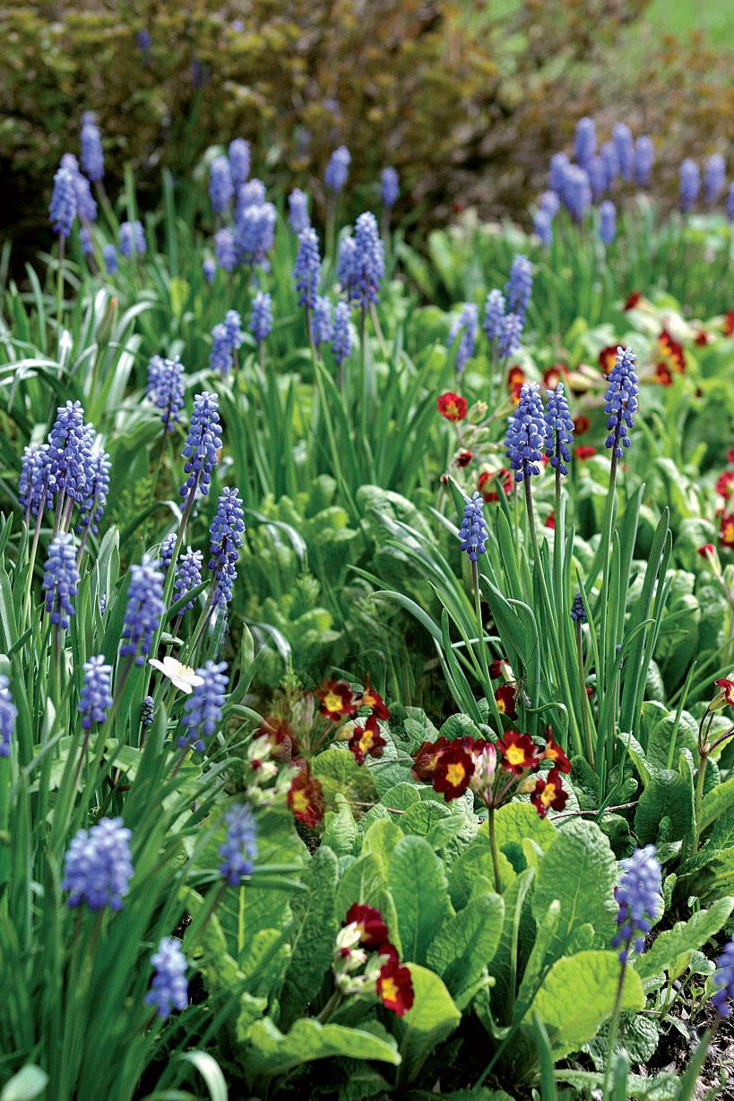 Ei kevättä ilman esikoita ja helmililjoja! Istuta pieniä sipuleita runsaasti penkkiin.