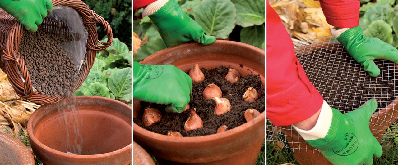 Koristele puutarha itsehyödetyillä ruukkusipuleilla kevään juhliin. Laita salaojitetut ja hiiriltä verkolla suojatut ruukut viileään kellariin ja nosta ne ulos pakkasten mentyä, muutamia viikkoja ennen haluttua kukintaa.